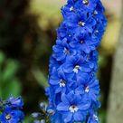 Kostenloses Bild auf Pixabay - Delphinium, Rittersporn, Blumen
