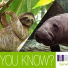 #DidYouKnow that most mammals have seven cervical vertebrae (neck bones), but that there are, in fact, exceptions? For example, the manatee and the two-toed sloth have only six cervical vertebrae! #HealthFacts #Spine #FunFactFriday #SpineCARE