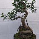 'Banyan Fig' Bonsai - 47 yrs old; 17 x 20 x 30 tall; Potted in a 14 brown round drum mica pot.