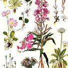 Primrose Primula Flowers Antarctica Arctic Circle Botanical | Etsy