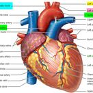 Brachiocephalic Artery and its branches   Function and Blood Supply
