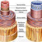 Blutkreislauf, Herz-Kreislaufsystem -