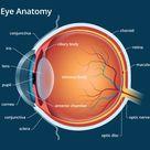Human Eye Anatomy - Parts of the Eye Explained