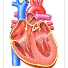 25cm Photo. Illustration of the heart of a human being Homo