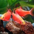 Neon Rosy Barbs Featured Item Neon Rosy Barb Fish Petfish Aquarium Aquariums Freshwater Freshwaterfish Fe Peces Tropicales Pez Tropical Hermoso Pez
