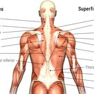muscle anatomy back   MuscleTech