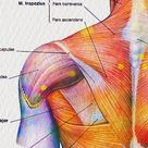 40 Muscle Anatomy Posters, Human Body Watercolor Art, Muscular System Structure Print, Medical Art, Massage Therapist Gift, Physiotherapist