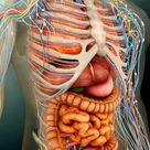 'Female Body Showing Digestive And Circulatory System' Photographic Print - Stocktrek Images | Art.com