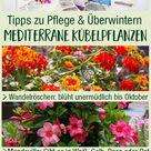 Mediterrane Kübelpflanzen