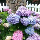 Growing Hydrangea