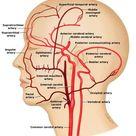 External Carotid Artery - Stepwards