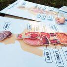Human body * human organs * kids anatomy * human body figurines * Homeschool * Montessori anatomy * body parts * Kids Birthday gift