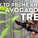 How to Prune an Avocado Tree
