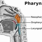 Pharynx - Function, Location, Anatomy, Muscles and FAQs