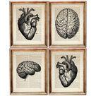 Human Anatomy Wall Art, Set of 4 Prints, Human Brain Anatomy Dictionary Art Print, Human Heart Wall