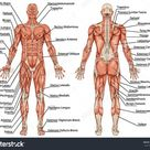 Leg Muscles Diagram Labeled And Leg Muscle Names Diagram Leg   Best Diagram Collection
