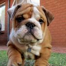 Cute Bulldog Puppies