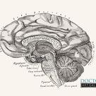 Vintage Lateral Brain Anatomy Art Print | Etsy