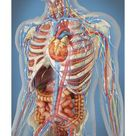 Art Print: Images' Human Body Showing Heart and Main Circulatory Syste