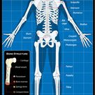 Diagram of the Human Skeletal System (Infographic)