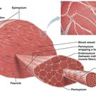 Figure 1.4: Skeletal muscle structure (photo created by © Encyclopedia...