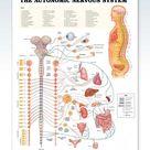 The Autonomic Nervous System Chart 20x26