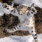 A leaping snow leopard - Awesome