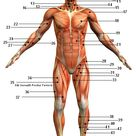 Muscular System Picture Anterior (Front) View