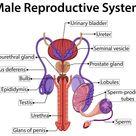 Baixar Gráfico mostrando sistema reprodutor masculino gratuitamente