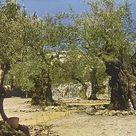 1000 Piece Puzzle. Garden of Gethsemane, Jerusalem
