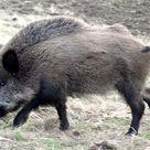 The Russian Wild Boar – Hog Hunting