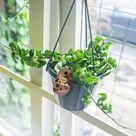 in Hanging Basket Indoor House Plant  Monkey Cup Plant, Hoya Plant, Devil Ivy Plant, English Ivy Plant