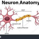 Diagram Neuron Anatomy Illustration Stock Vector (Royalty Free) 1117508645