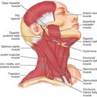 The Temporomandibular Joints, Teeth, and Muscles, and Their Functions (Dental Anatomy, Physiology and Occlusion) Part 3