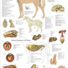 Horse Equine Internal Organ Nerves Anatomy Poster  24