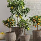 Mediterrane Obstpflanzen