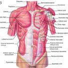 Skeletal Muscle Group III
