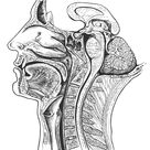 Mid section of the head and neck, with a portion of the brain included. Note the hypophysis, corpus callosum, septum pellucidum, pineal body, third ventricle, aqueduct, fourth ventricle, pons, cerebellum, medulla, and spinal cord; C1 to T1 vertebrae; the frontal and sphenoidal sinuses; the nasal conchae, palate, and opening of the auditory tube; the genioglossus and geniohyoid muscles; the larynx and trachea and pharynx and esophagus.