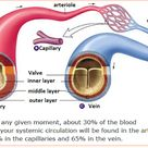 # 72 Arteries, veins and capillaries - structure and functions