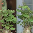 Growing Sweet Potatoes