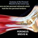 Anatomy Of The Peroneal Muscles In The Lower Leg - Everything You Need To Know - Dr. Nabil Ebraheim