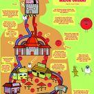 Circulatory System and Major Organs