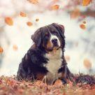 Der Appenzeller Sennenhund Sennenhund Entlebucher Sennenhund Appenzeller Hund