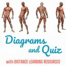 Muscular System Diagrams and Quiz