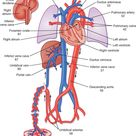 Fetal Circulation Shunts: Placenta: Oxygenated rich blood from mother. Ductus…
