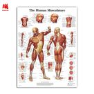 WANGART Human Anatomy Muscles System Art  Poster Print Body Map Canvas Wall Pictures for Medical Education Home Decor JY0717 - 70x90cm no frame