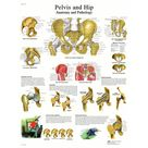 Anatomical chart hip & pelvis, laminated   Walmart.com