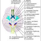 """Gehirn und Lernen   Der Hirnstamm oder das """"Reptiliengehirn"""""""