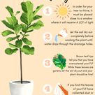 Tips for Fiddle Leaf Fig Tree Care