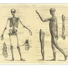 25cm Photo. Human Anatomy Skeleton and muscles of the body